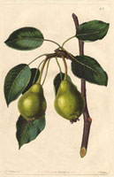 Pear, Long-stalked blanquet