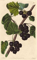 Blackcurrant, Black naples