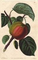 Apple, Early red margaret