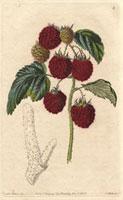 Raspberry, Barnet