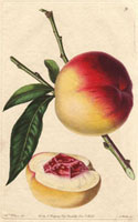 Peach, Catharine