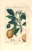 Lemon tree with fruit and segment