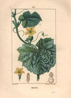 Melon leaves, yellow flowers