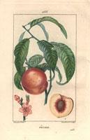 Peach, blossom, fruit, segment