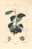 Plum, purple fruit, segment