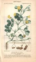 Peanut plant, groundnuts