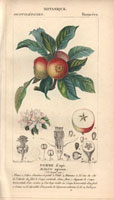 Apple tree, apples, fruit segment