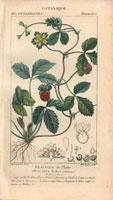 Wild strawberry bush with fruit