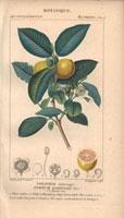 Guava tree, guava fruit, guava segment