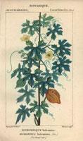Balsam apple tree, flowers, fruit