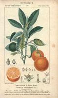 Orange tree, with orange fruit segment 20042000151| 写真素材・ストックフォト・画像・イラスト素材|アマナイメージズ