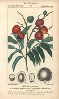 Lychee (litchi) tree with fruit