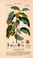 Date plum branch with small golden fruits