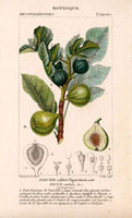 Green figs on a branch, with segment