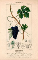 Vine with bunch of black grapes