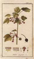 Black currant, flowers, fruit