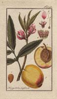 Peach, pink blossom, ripe fruit, peach pit