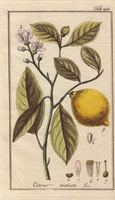 Citron fruit, pink blossom, leaves