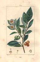 Tea tree, white flowers, seeds