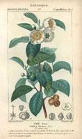 Tea tree, flowers, tea leaves