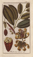 Cacao tree, flowers, seed, segment