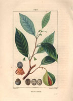 Nutmeg, mace, seeds 20042000288| 写真素材・ストックフォト・画像・イラスト素材|アマナイメージズ