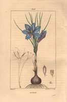 Saffron crocus, blue flower, bulb