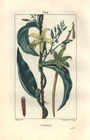 Yellow vanilla orchid, bean