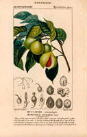 Branch and fruits of nutmeg and mace