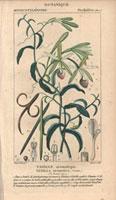 Vanilla orchid, vanilla bean 20042000298| 写真素材・ストックフォト・画像・イラスト素材|アマナイメージズ