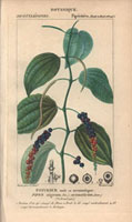 Black pepper plant, pepper corns