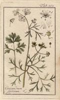 Coriander plant, seed, white flowers 20042000303| 写真素材・ストックフォト・画像・イラスト素材|アマナイメージズ