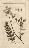 Caraway seed, plant, leaves 20042000306| 写真素材・ストックフォト・画像・イラスト素材|アマナイメージズ