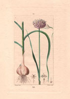Garlic bulb and flower