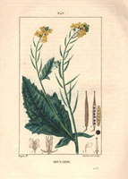 Mustard, yellow flowers, seeds