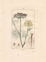 Dill herb with delicate fronds