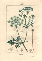 Parsley, white flowers, root