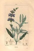 Sage, blue flowers, 20042000322| 写真素材・ストックフォト・画像・イラスト素材|アマナイメージズ