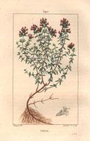 Thyme, scarlet flowers, root 20042000323| 写真素材・ストックフォト・画像・イラスト素材|アマナイメージズ