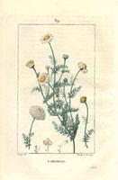 Chamomile herb 20042000324| 写真素材・ストックフォト・画像・イラスト素材|アマナイメージズ