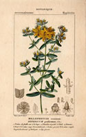 Yellow flowered St. John Wort