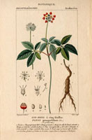 Ginseng with red flowers, leaves and root