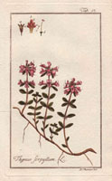 Pink-flowered wild thyme 20042000332| 写真素材・ストックフォト・画像・イラスト素材|アマナイメージズ