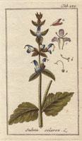 Clary sage, blue flowers 20042000340| 写真素材・ストックフォト・画像・イラスト素材|アマナイメージズ
