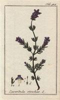 Purple lavender flower, French lavender