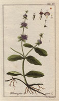 Pennyroyal mint, purple flowers