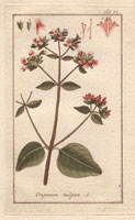Scarlet-flowered oregano herb