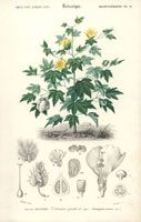 Cotton bush, yellow flowers