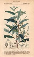 Thouinia plant 20042000432| 写真素材・ストックフォト・画像・イラスト素材|アマナイメージズ