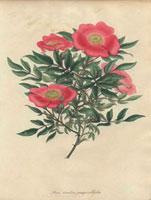 Pink Carolina rose